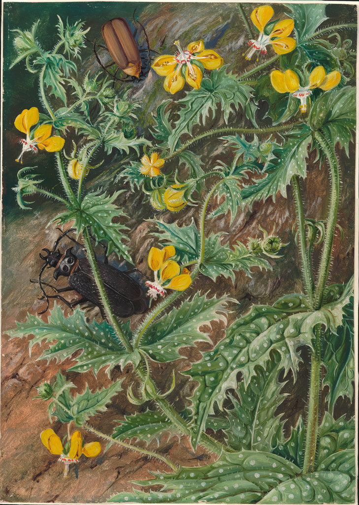 Detail of 7. A Chilean stinging nettle and male and female beetles, 1880 by Marianne North