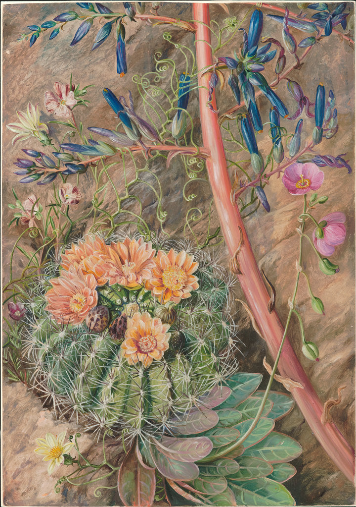 Detail of 14. Some flowers of the sterile region of Cauquenas, Chili, 1880 by Marianne North