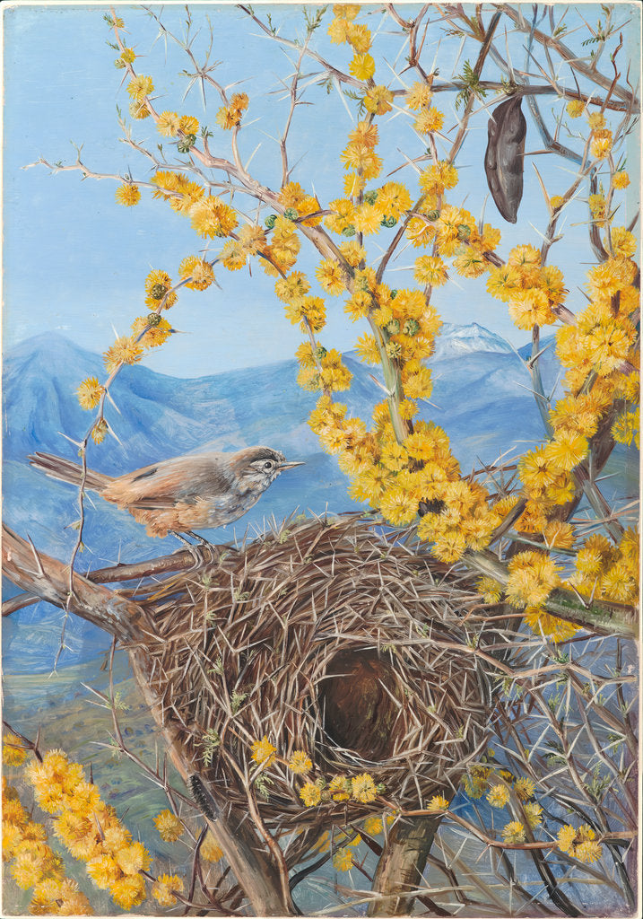 Detail of 15. Armed bird's nest in acacia bush, Chili, 1880 by Marianne North
