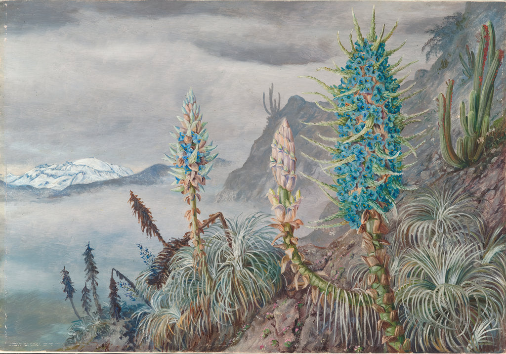 Detail of 26. The blue puya and cactus at home in the cordilleras, near Apoquindo, Chili, 1880 by Marianne North