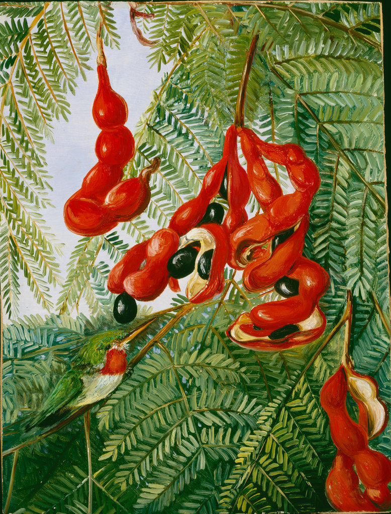 Detail of 30. The wild tamarind of Jamaica with scarlet pod and barbet, 1880 by Marianne North