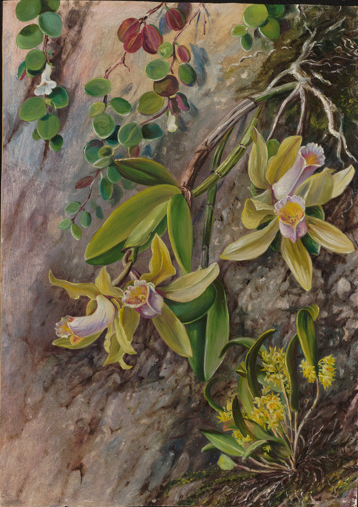 Detail of 39. Orchids and creeper on Water-worn Boulders in the Bay of Rio Janeiro, Brazil, 1880 by Marianne North