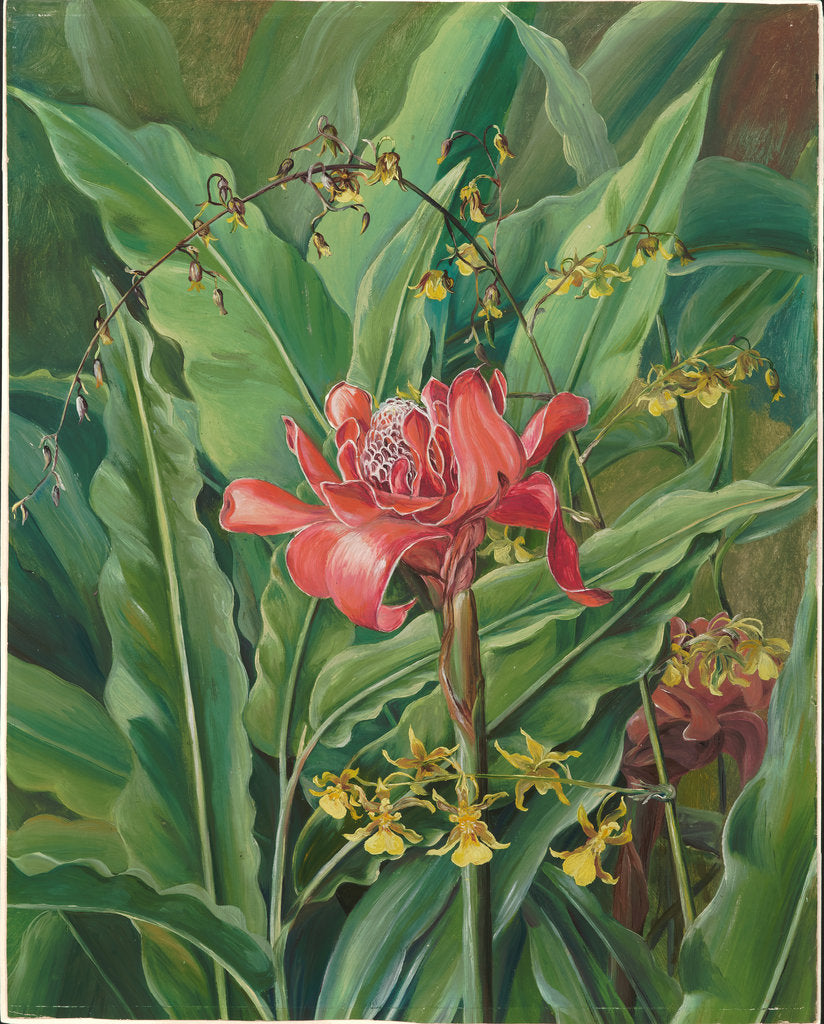 Detail of 51. Foliage and flowers of a Madagascar Plant, 1880 by Marianne North