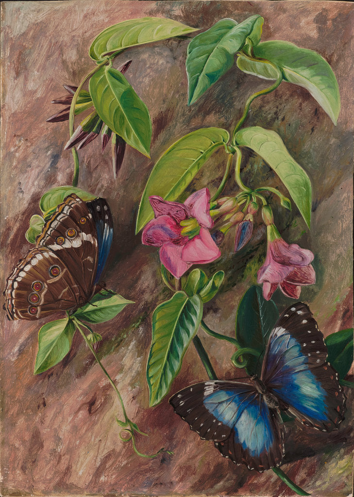 Detail of 52. Twining plant and butterfly of Brazil, 1880. by Marianne North