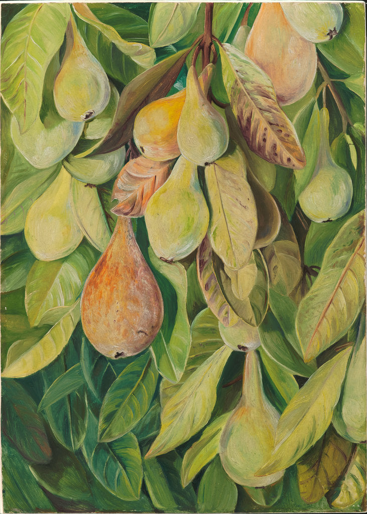Detail of 54. Cabazina pears, Brazil, 1880 by Marianne North