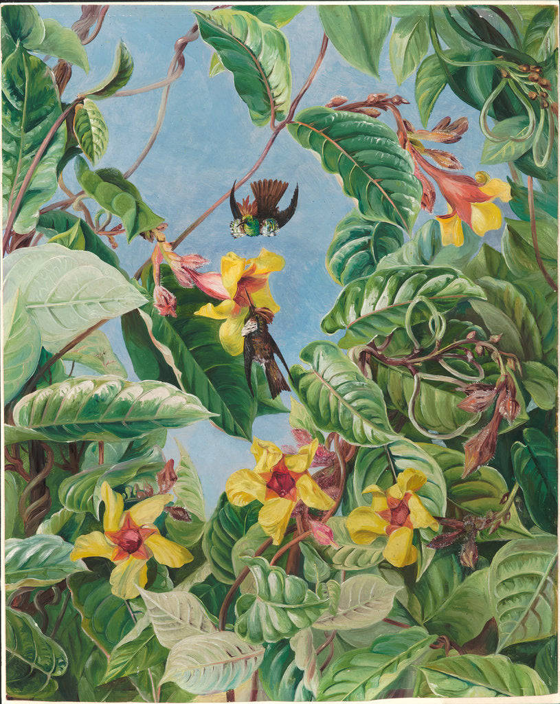 Detail of 59. A Brazilian climbing shrub and hummingbirds, 1880 by Marianne North