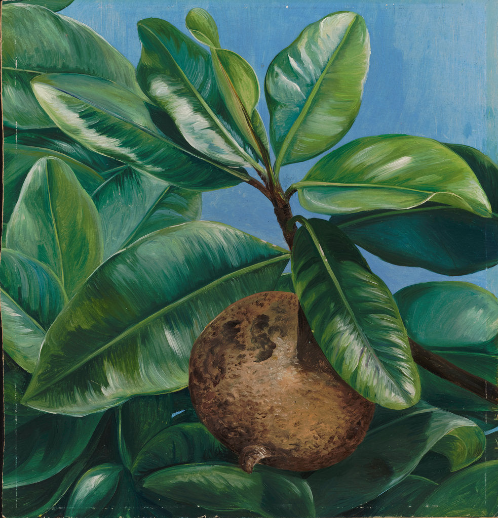Detail of 64. Foliage and fruit of mammae apple, or South American Apricot, 1880 by Marianne North