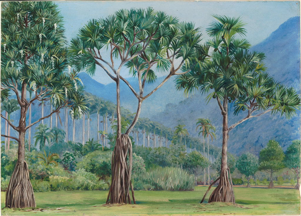 Detail of 66. Screw pines and avenue of royal palms in the botanic gardens, Rio, 1880 by Marianne North