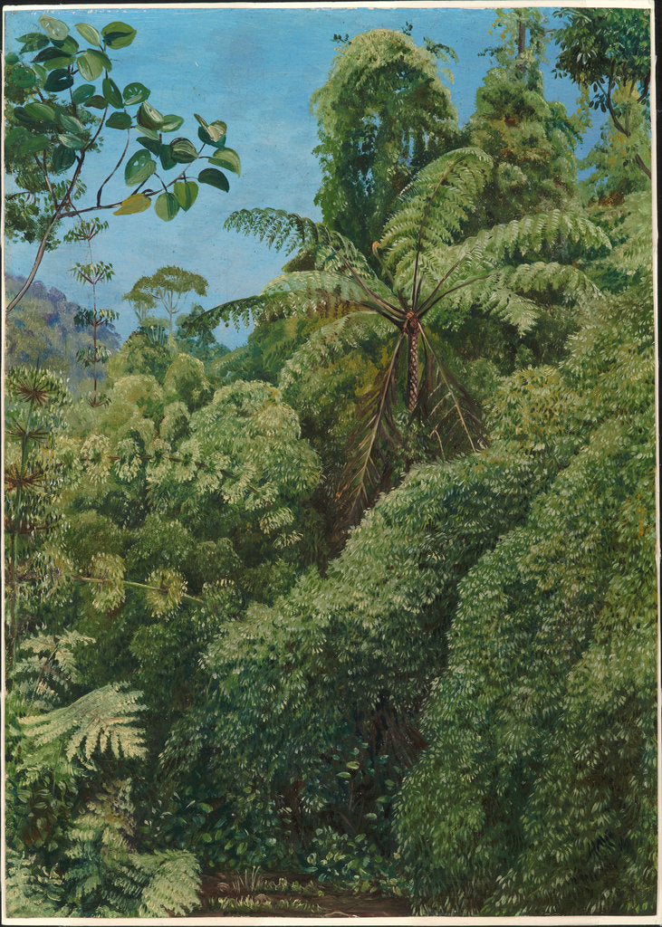 Detail of 68. Tree ferns and climbing bamboos in Gongo forest, Brazil, 1880 by Marianne North