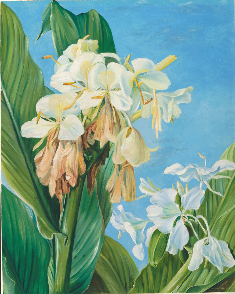 Detail of 72. Flowers of Hedychium, botanic gardens, Brazil, 1880 by Marianne North