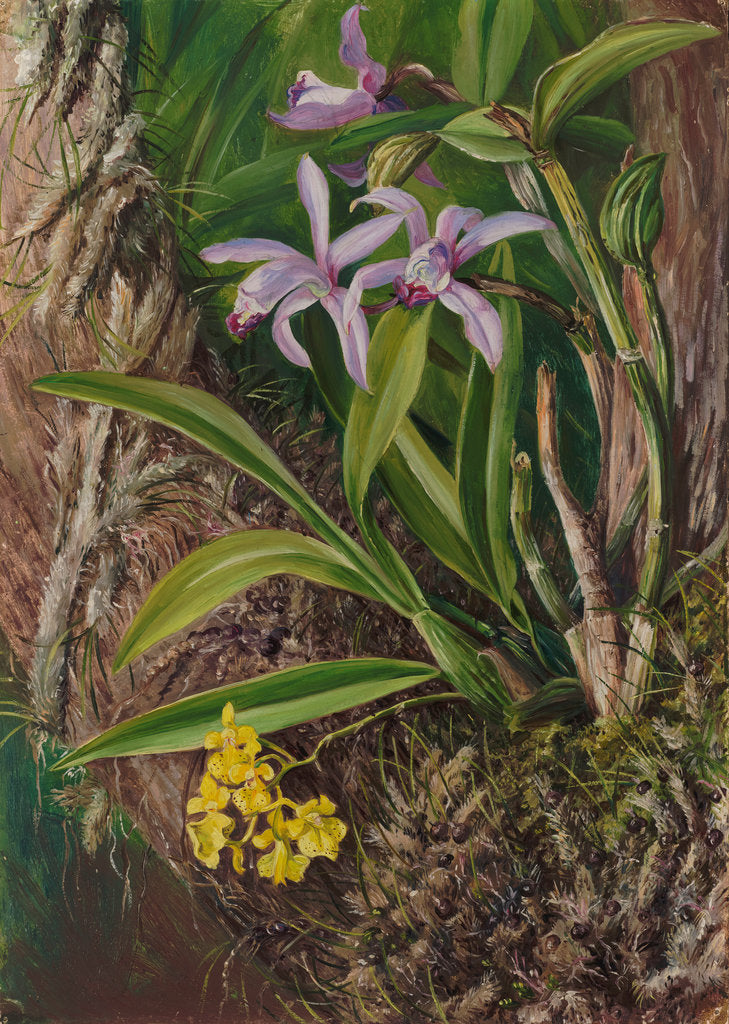 Detail of 93. Brazilian orchids and other epiphytes, 1880 by Marianne North