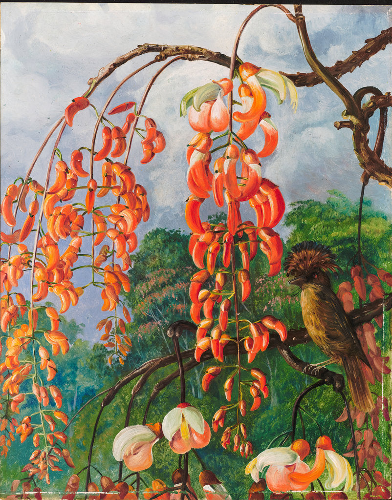 Detail of 98. Flowers of a coral tree and king of the flycatchers, Brazil, 1880 by Marianne North