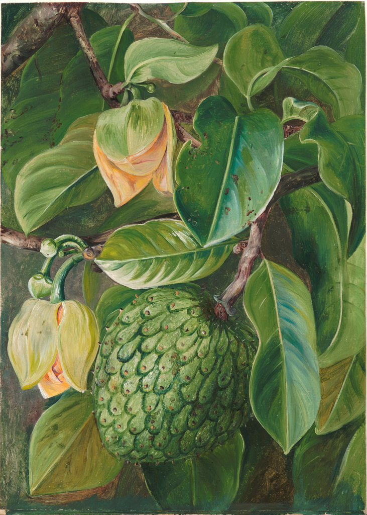Detail of 104. Foliage, flowers, and fruit of the soursop, 1873 by Marianne North