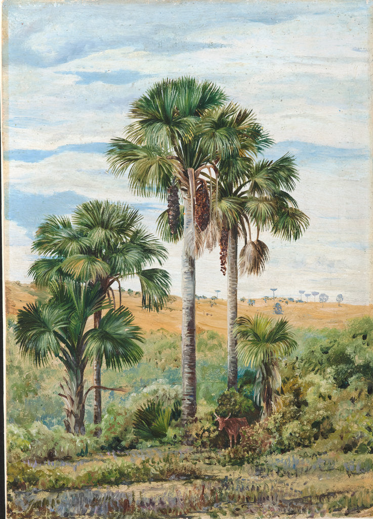 Detail of 105. Buriti palms with old Araucaria trees on the distant ridge, Brazil, 1873 by Marianne North