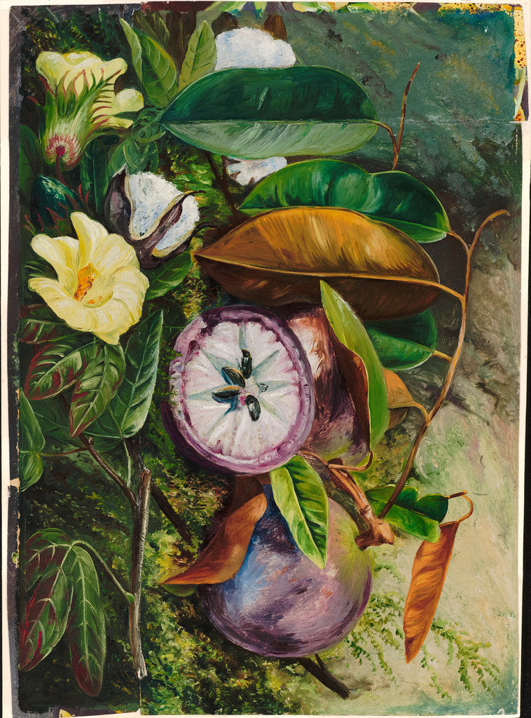 Detail of 107. Foliage, flowers, and seed vessels of cotton, and fruit of star apple, Jamaica, 1872 by Marianne North