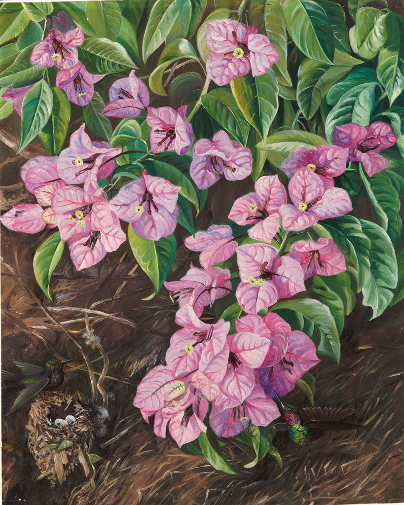 Detail of 108. Foliage and flowers of a Brazilian climbing shrub and humming birds, 1873 by Marianne North