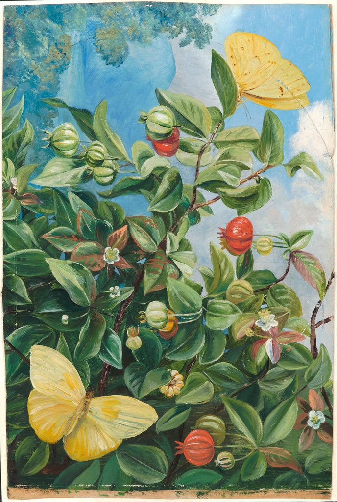 Detail of 114. Foliage, flowers and fruit of the pitanga, and sulphur butterflies, Jamaica, 1872 by Marianne North