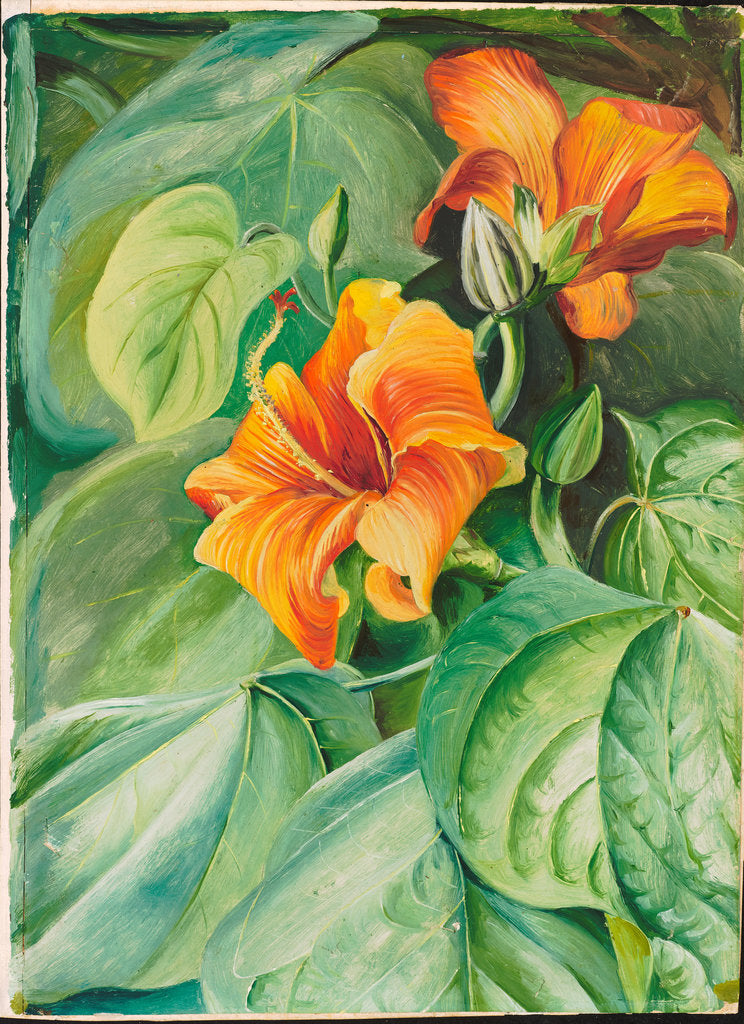 Detail of 118. Foliage and flowers of the mahoe, Jamaica, 1872 by Marianne North