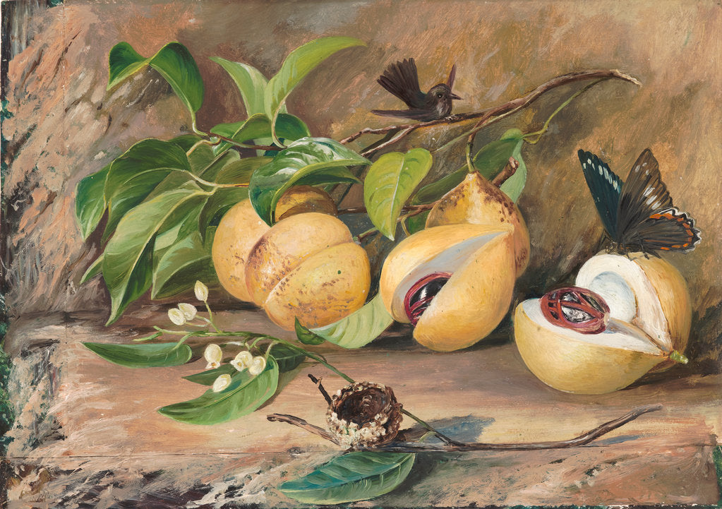 Detail of 119. Foliage, flowers and fruit of the nutmeg tree, and humming bird, Jamaica, 1872 by Marianne North