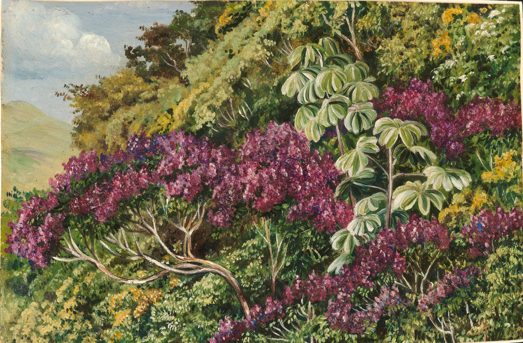 Detail of 121. A bank of quaresma and trumpet trees, Brazil, 1873 by Marianne North
