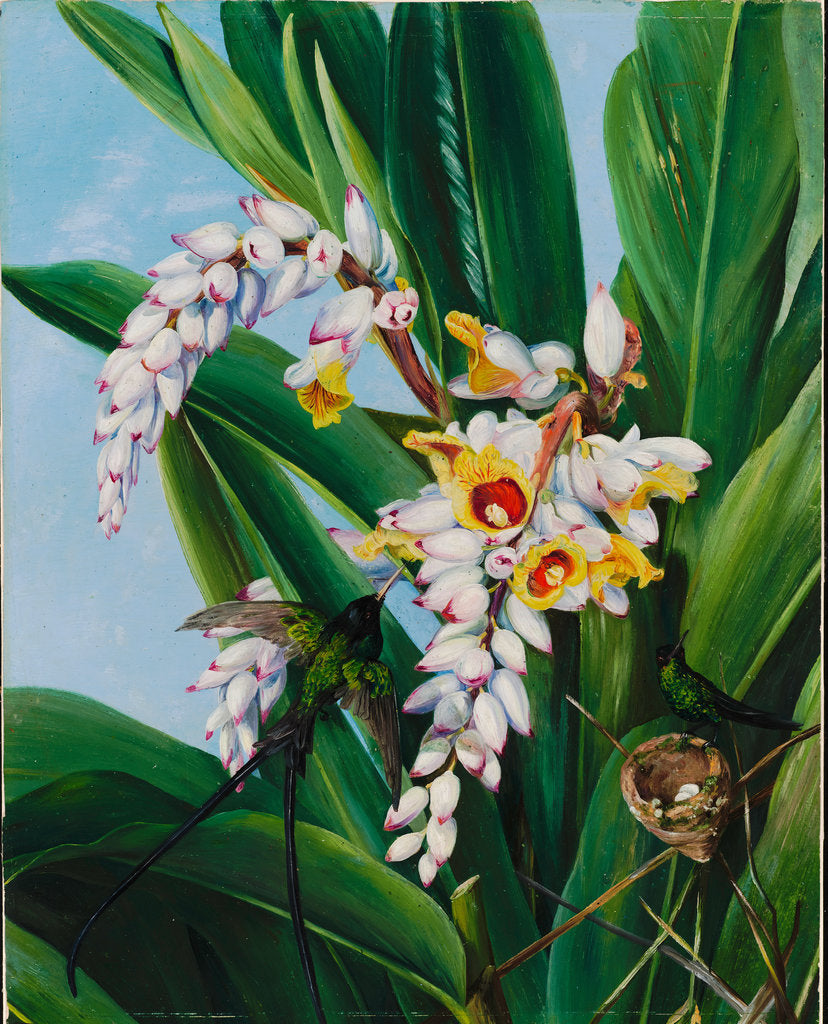Detail of 123. Foliage and flowers of Alpinia nutans, and a pair of doctor humming birds, Jamaica , 1872 by Marianne North