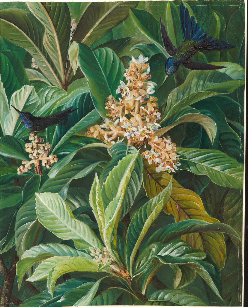 Detail of 128. Foliage and flowers of the loquat or Japanese medlar, Brazil, 1873 by Marianne North