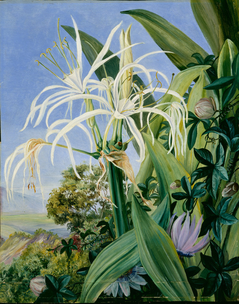 Detail of 136. Pancratium caribaeum and a passion flower, Jamaica, 1872 by Marianne North