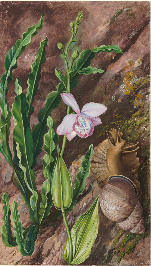 Detail of 142. Ground orchid, carqueja and giant snail, Brazil, 1873 by Marianne North