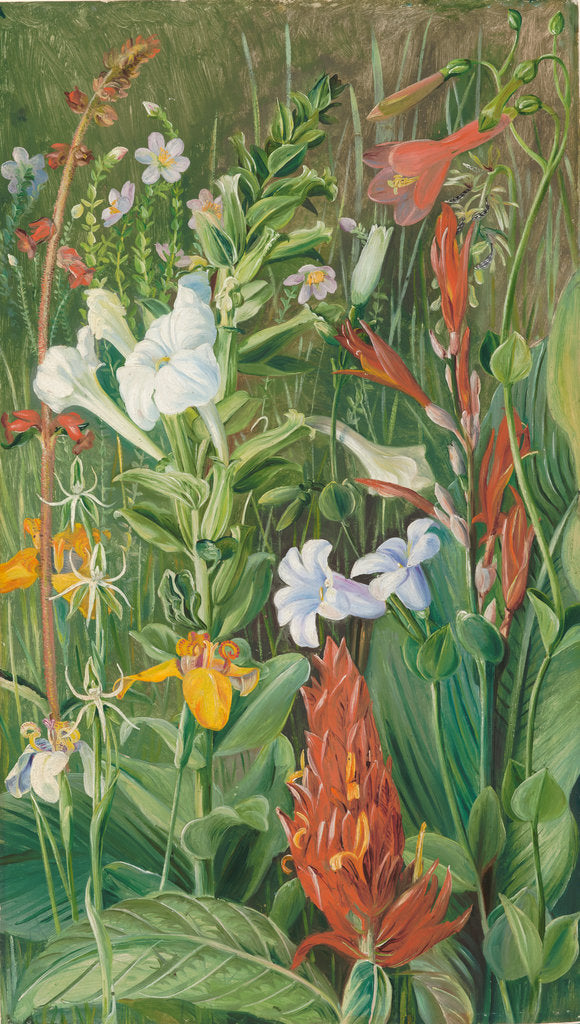 Detail of 143. Brazilian wild flowers, 1873. by Marianne North
