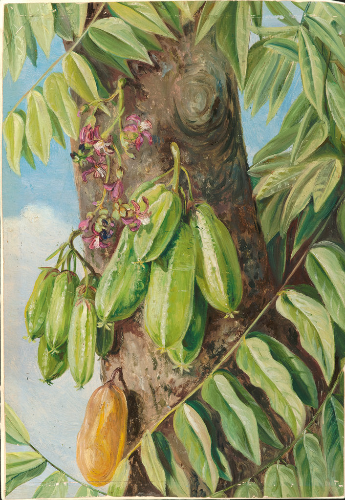 Detail of 152. The bilimbi or blimbing, Jamaica, 1872 by Marianne North
