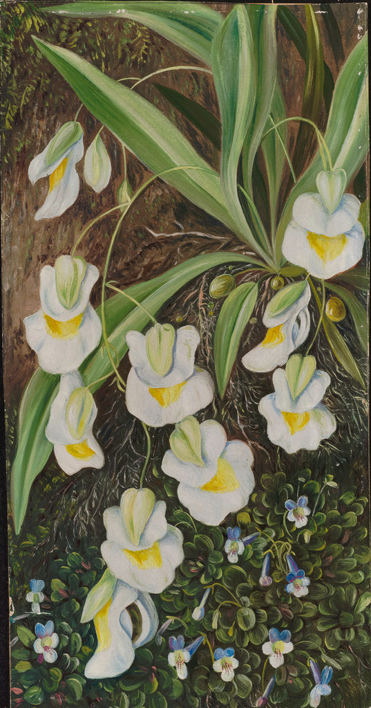Detail of 169. Two tropical American flowers, 1873 by Marianne North