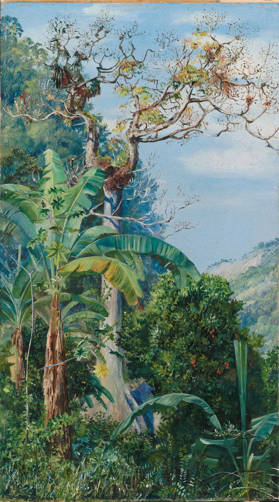 176. Great cotton tree, Jamaica, 1872 by Marianne North