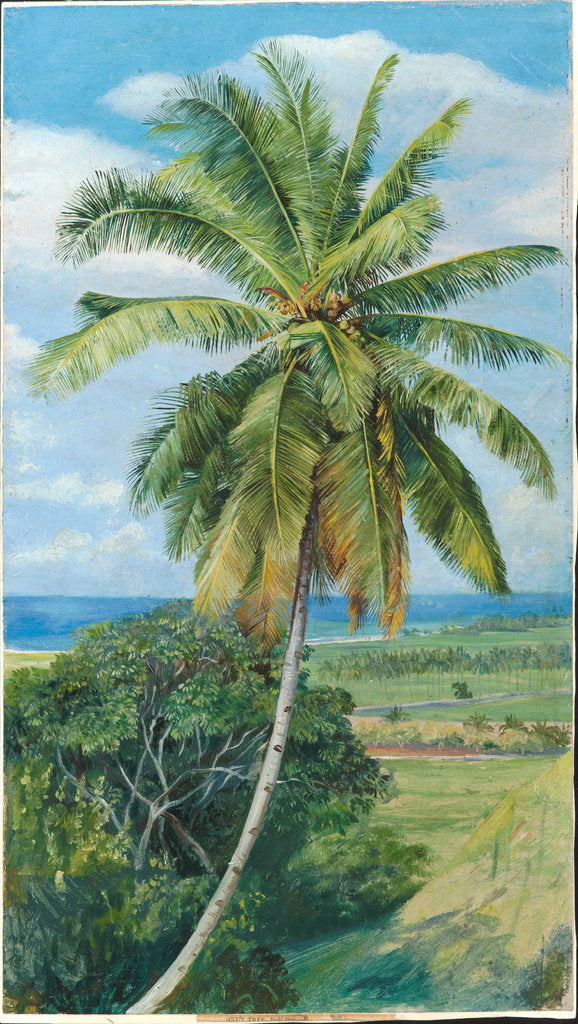 Detail of 183. Study of cocoanut palm, 1870 by Marianne North