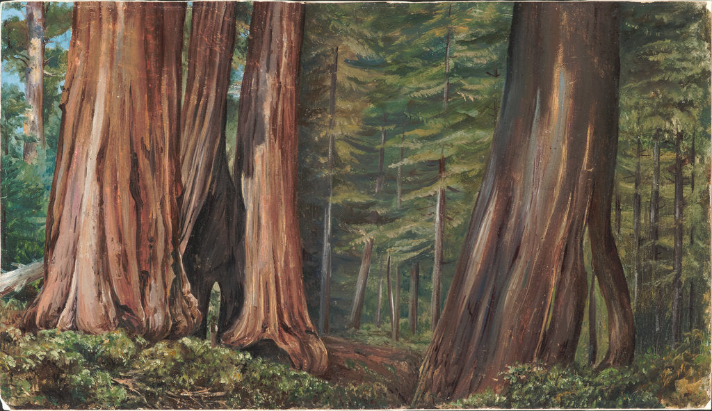 Detail of 189. The Mariposa Grove of big trees, California, 1875 by Marianne North