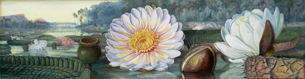 1. Victoria regia. by Marianne North