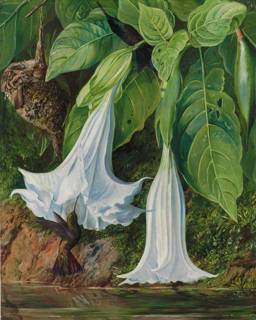 Detail of 47. Flowers of Datura and Humming Birds, Brazil. by Marianne North