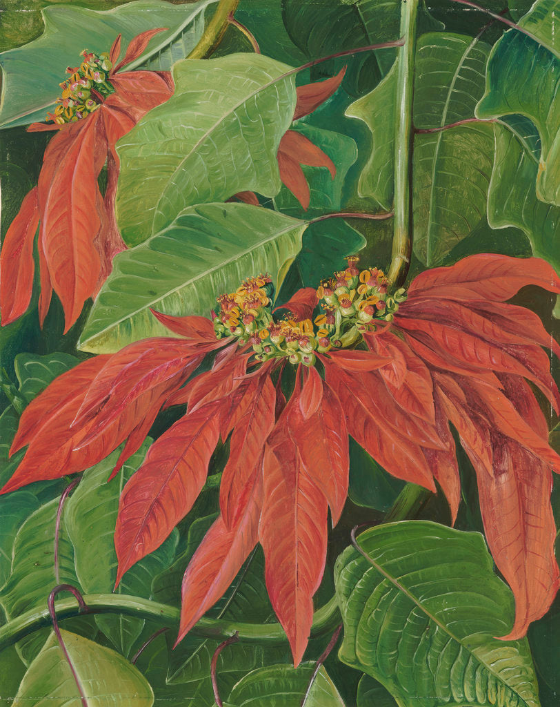 Detail of 60. Flor de Pascua or Easter Flower at Morro Velho, Brazil. by Marianne North