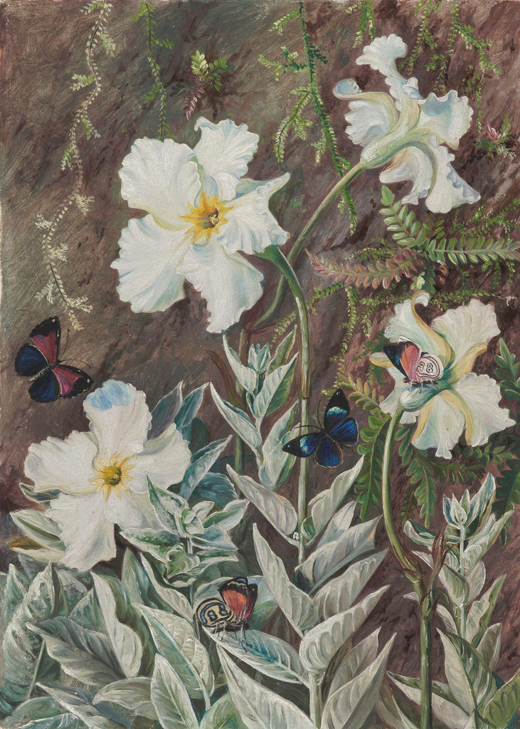 67. Flannel Flower of Casa Branca and Butterflies, Brazil. by Marianne North