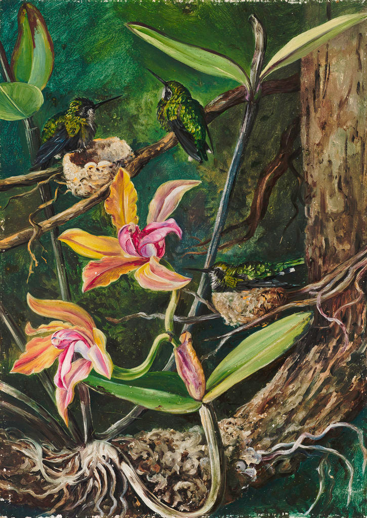 96. Orchid and Humming Birds, Brazil. by Marianne North