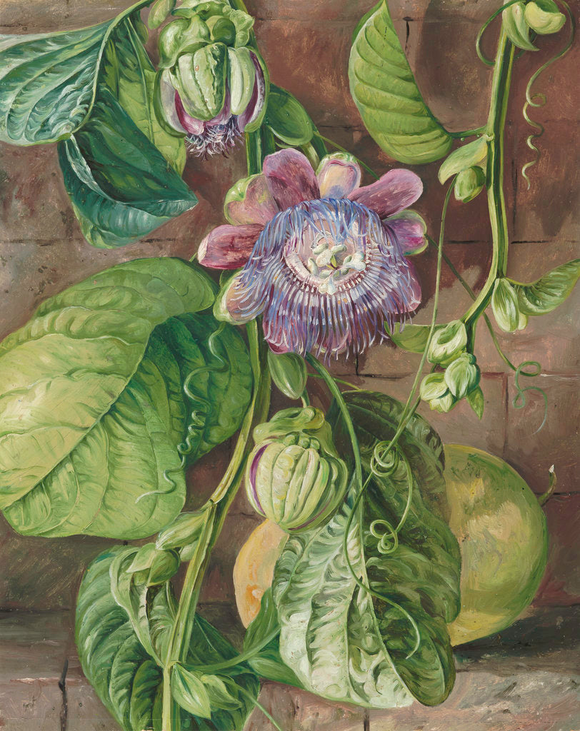 Detail of 112. Foliage, flowers, and fruit of the Granadilla, Jamaica. by Marianne North