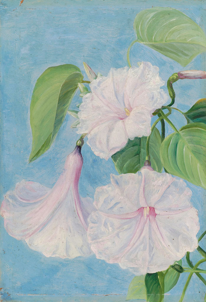 Detail of 158. Flowers of a Shrubby Convolvulus, Jamaica. by Marianne North