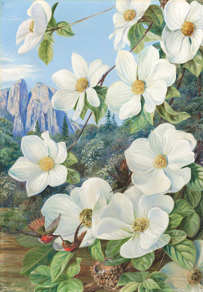 Detail of 190. Foliage and Flowers of the Californian Dogwood, and Humming Birds. by Marianne North