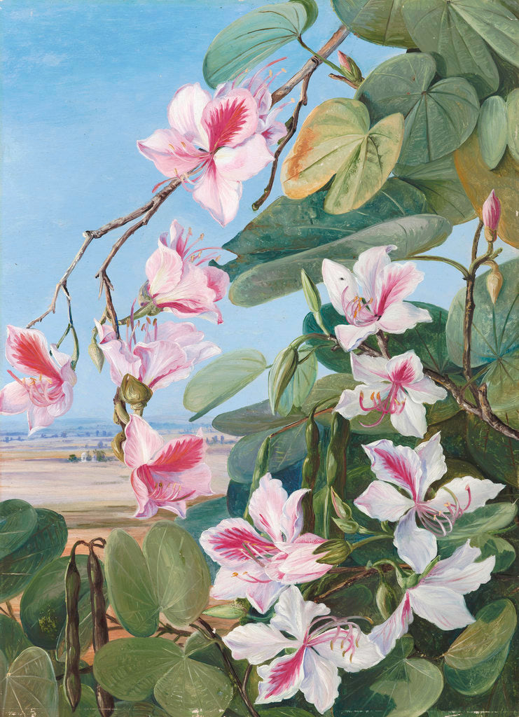 Detail of 221. Foliage, Flowers and Fruit of a common Indian forest tree. by Marianne North