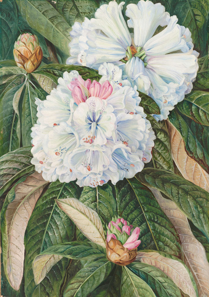 Detail of 234. Foliage and Flowers of the Indian Rhododendron grande. by Marianne North