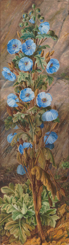 Detail of 252. Blue Poppy growing on Mt. Tonglo, Sikkim-Himalaya. by Marianne North