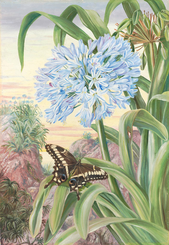 Detail of 357. Blue Lily and large Butterfly, Natal. by Marianne North