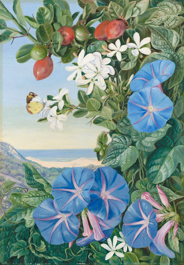 Detail of 378. Amatungula in Flower and Fruit and Blue Ipomoea, South Africa. by Marianne North