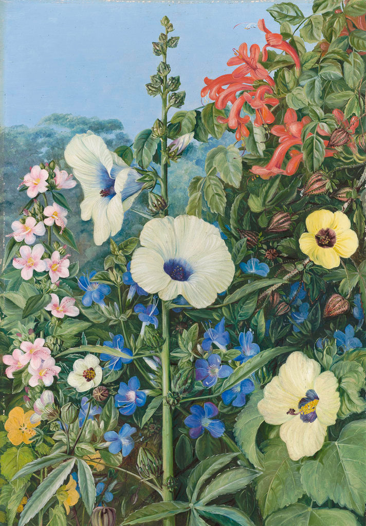 Detail of 388. Various species of Hibiscus, with Tecoma and Barleria, Natal. by Marianne North