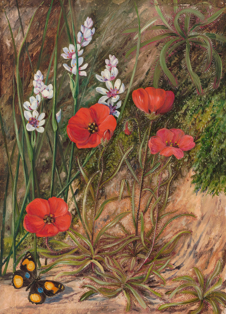 Detail of 413. A South African Sundew and Associate. by Marianne North