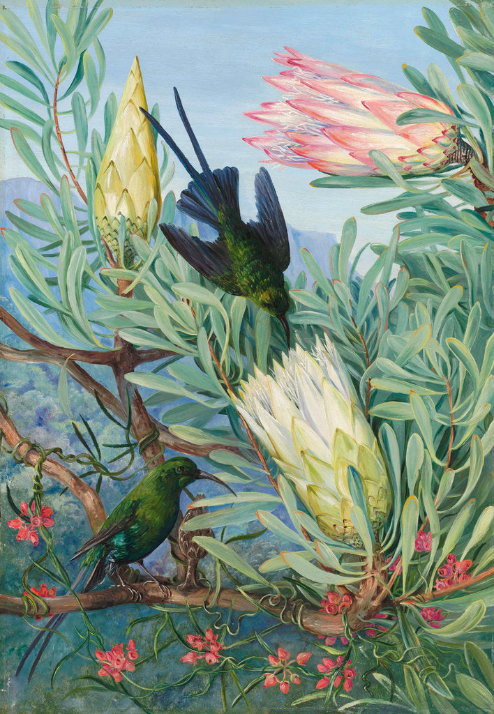 Detail of 415. Honeyflowers and Honeysuckers, South Africa. by Marianne North